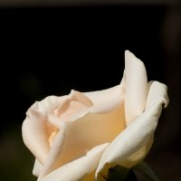 Роза. :: saratin sergey