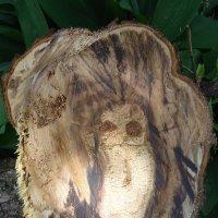 Совёнок в спиле грушевого дерева. :: Анна Шенберг