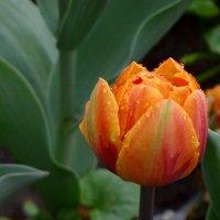Бутон тюльпана. :: Ольга
