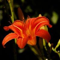 Лилия, цветок Королей. :: Дмитрий Скубаков