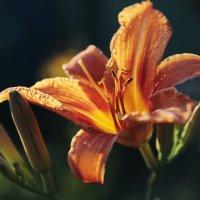 солнечный цветок :: Дашка Сергевна