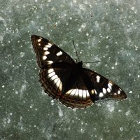 Бабочка :: Натали V