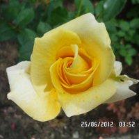Роза. :: Анастасия Викторчик