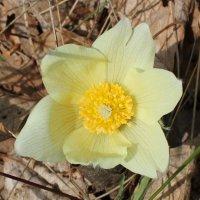 цветок сон-травы жёлтый :: Наталья Золотых-Сибирская