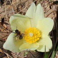 насекомое на жёлтом цветке сонтравы :: Наталья Золотых-Сибирская
