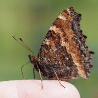 Бабочка на пальце :: Сергей Михальченко