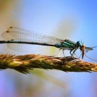 Комары для всех беда, а для стрекоз они еда. :: Сергей Михайлов