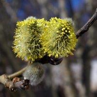 весна... все умножается... :: Елена Назарова