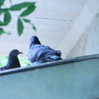 голуби :: Таня Новикова