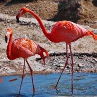 любовь фламинго :: юрий макаров