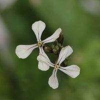 Цветок руколы,,, :: Ирина Елагина