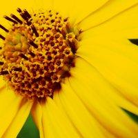 цветок,как солнце...манит и держит взгляд :: Александра Хитрук