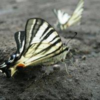 Бабочка :: Виктория Журавлева