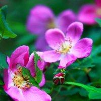 дикая роза.. :: Катрин Моргачева