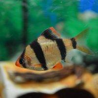 Рыбка Барбус :: Анастасия Прибыткова