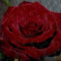 Красная-прекрасная роза :: Нина Корешкова