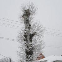 Серия деревья. Укороченный гигант. :: Вячеслав Медведев