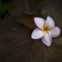 Цветок плюмерии :: GULLSHAT