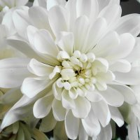 Хризантема :: Флора