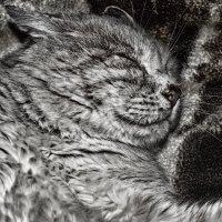 кошак спит :: Роза Бара
