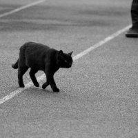 Кошка, которая гуляет сама по себе :: Дмитрий Петренко