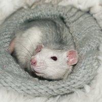 крысяка-улыбака :: Алиса Колмагорова