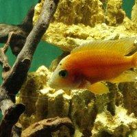 Рыба в аквариуме :: Владимир Гилясев