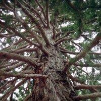 Бивни мамонтового дерева. :: Андрий Майковский