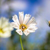 Шмель в цветке :: Татьяна Тимофеева