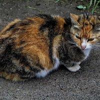 Обычный дворовой кот, но красавец.. :: Владимир Ильич Батарин