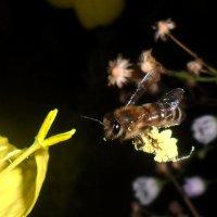 Неутомимая пчелка! :: Наталья