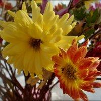 Хризантемы из букета :: Нина Корешкова