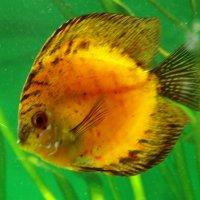 Рыбка солнышко :: Владимир Гилясев