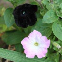 Цветы нашего двора :: Олег Афанасьевич Сергеев