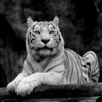 Снежный тигр :: Александр