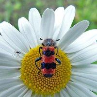 Пестряк пчелиный! :: Наталья