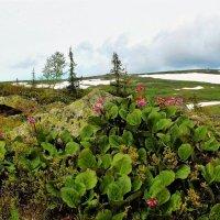 Цветёт в горах бадан :: Сергей Чиняев