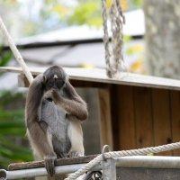 Паукообразная обезьяна :: Мария Самохина