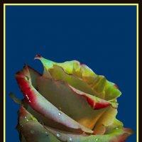 Утренняя роза 10 :: Владимир Хатмулин