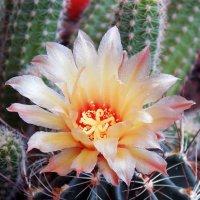 Цветок кактуса :: Aleks Ben Israel