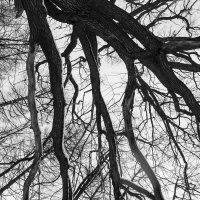 Ветви дерева (дуб?) :: morgo
