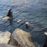 Калифорнийские морские котики :: Андрей Крючков