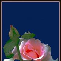 утренние розы 12 :: Владимир Хатмулин