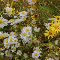 луговые растения :: оксана