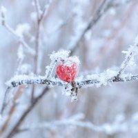 Зимний шиповник :: Сергей Тагиров