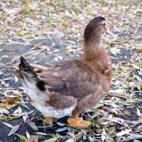 Вот такие утки гуляют у нас у озера в спальном районе ! :: Валентина Данилова