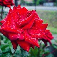 На розах блистанье росы... :: Елена Данько