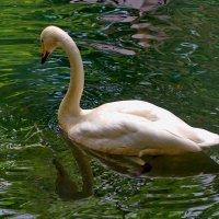 Белый лебедь :: Vladimir Lisunov