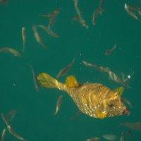 Золотая рыбка Красное море :: Павел Серов