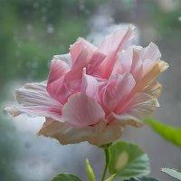 Роза и дождь :: Людмила Зайцева